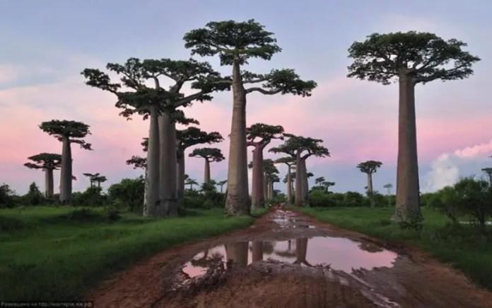 Endangered Trees, Palmate Adansonia