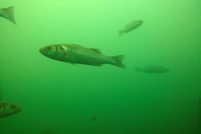 Europe Sea bass