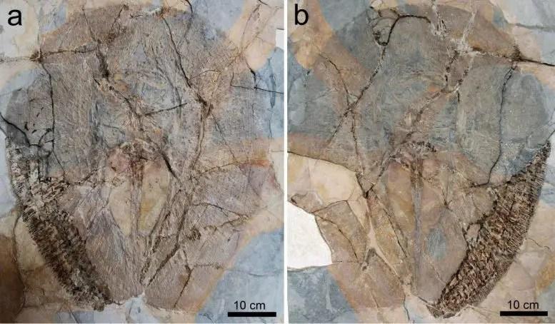 Fossils of Lessiniabatis Aenigmatica