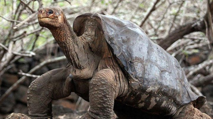 How a Giant Tortoise Gets Off its Back