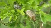 Leaf Beetle Ophraella communa