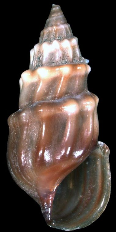 Microcolpia parreyssii Philippi 1847