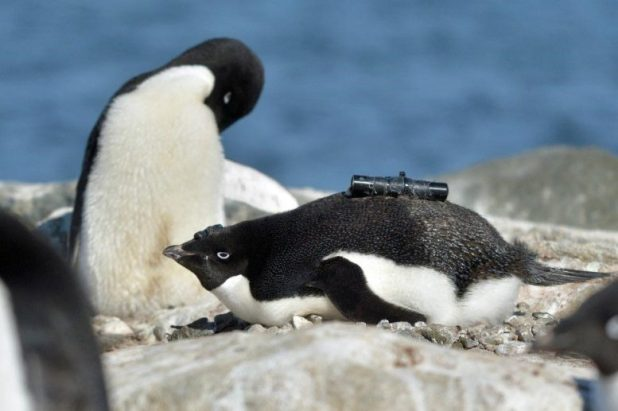 Penguin equipped with video camera