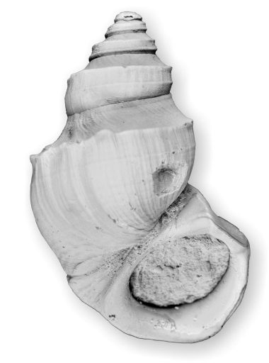 Pyrgulifera matheronii