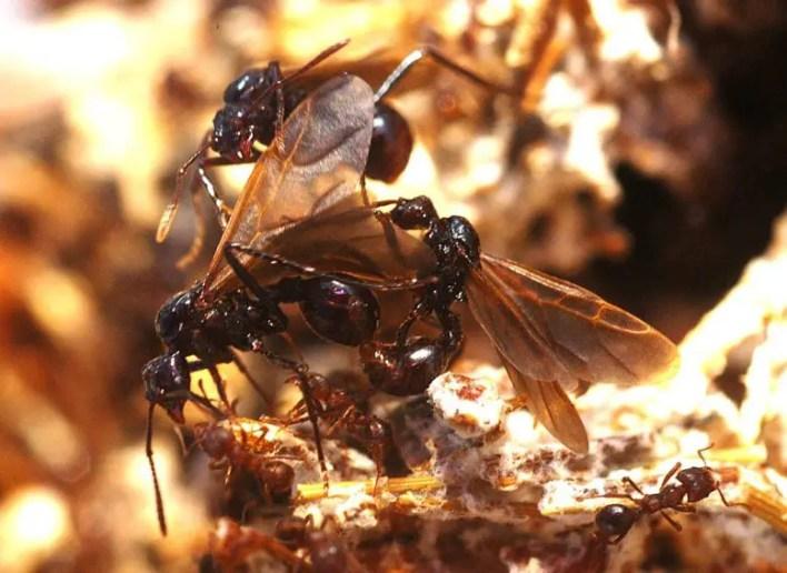 Nadir Parazitik Karınca, Pseudoatta arjantin