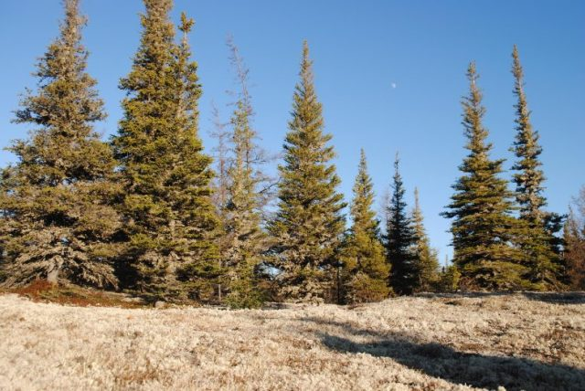 Reindeer lichen in the forest
