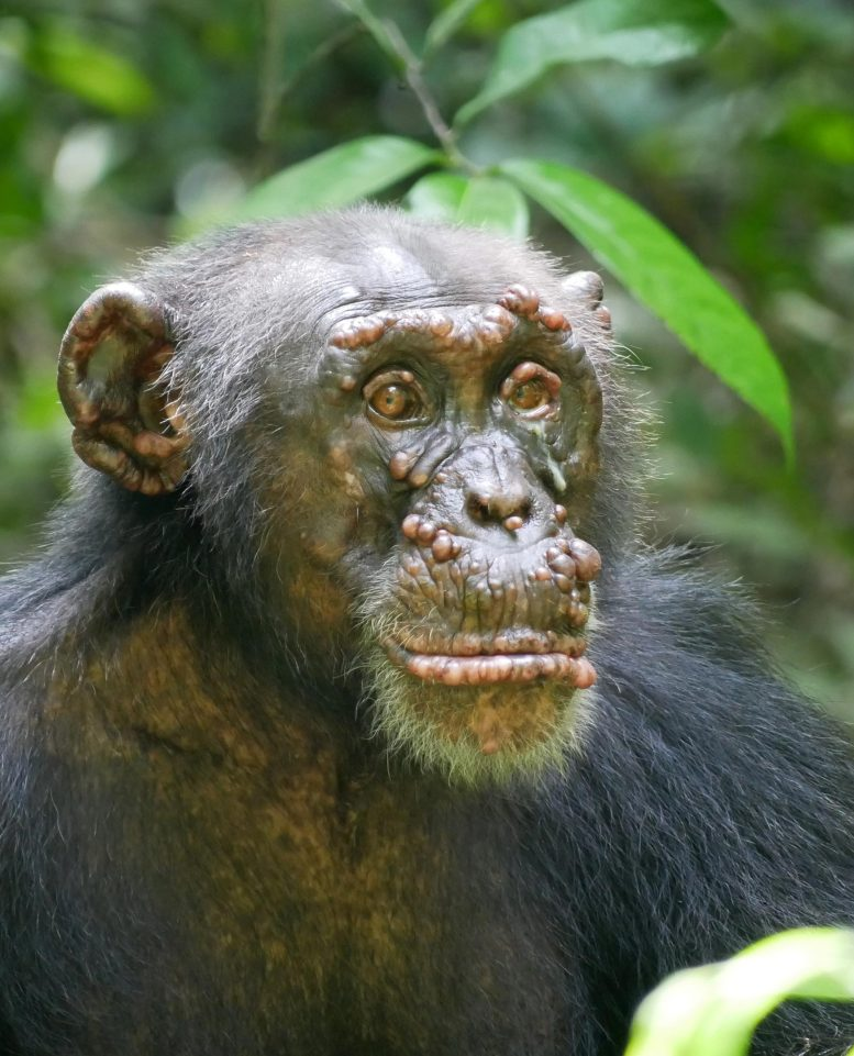 Woodstock Chimpanzee With Leprosy