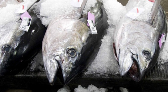 bigeye-tuna-overfishing