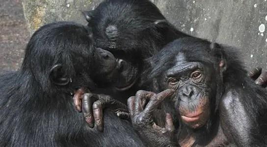 primates-monogamy