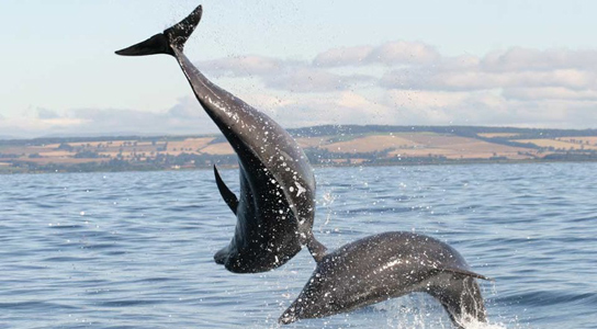 bottlenose-dolphins-jump