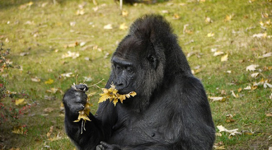 eating-gorilla