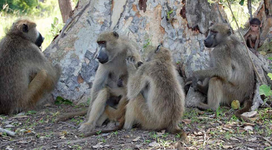 female-baboons-grooming