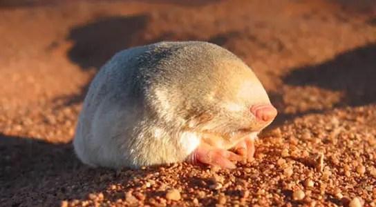 golden-mole-Eremitalpa