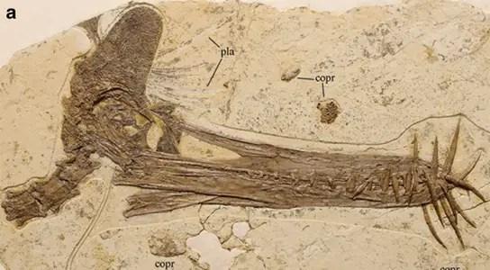 guidraco-venator-skull