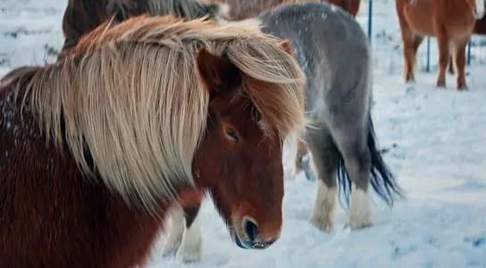 icelandic-horse-gait