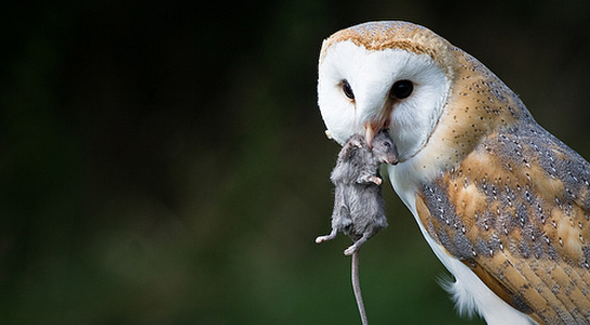 owl-eating-rat
