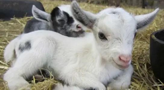 pygmy-goat-kids