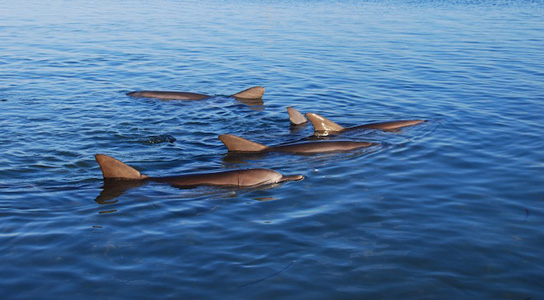 shark-bay-slow-swimming-dolphins