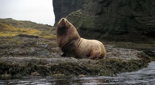 steller-sea-lion-bull