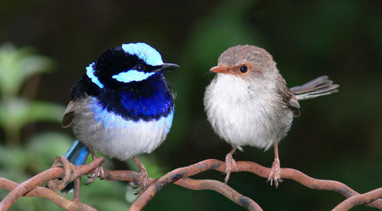 superb-fairy-wren