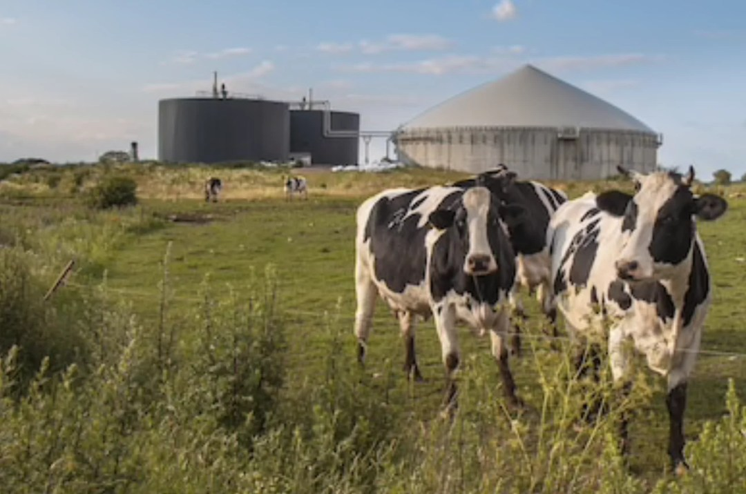 Cows in front of an anaerobic digester