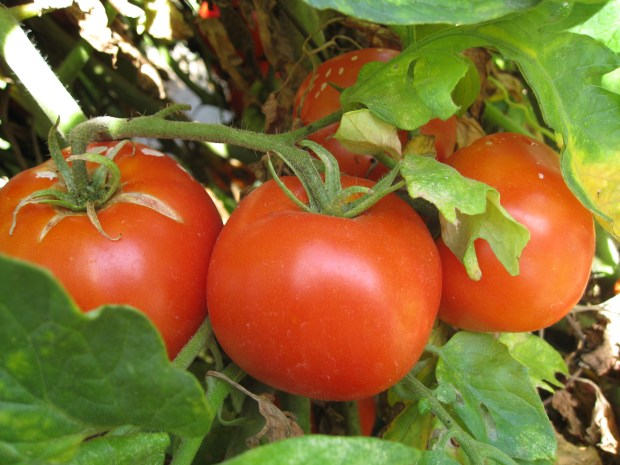 "Exposure to intense sunlight and drying winds can cause leathery skin on tomatoes. The solution? A full canopy of leaves helps protect the fruits. Courtesy of Ottillia ""Toots"" Bier"