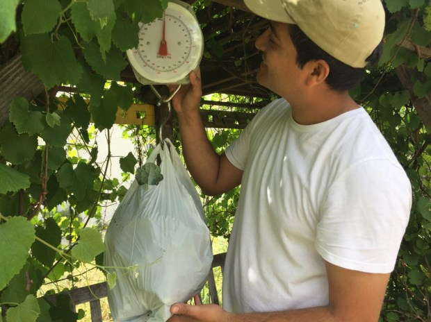 Cal State Fullerton student Miguel Aguayo weighs the harvest as part of the I-CAN project to grow produce for an off-campus cafe. (Photo courtesy of Cal State Fullerton)
