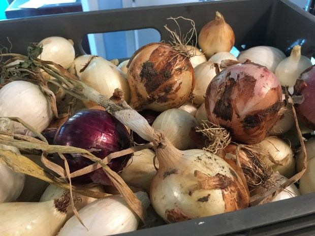 During the first three months of this year, the I-CAN program harvested 136 pounds of onions from its plot at the Fullerton Arboretum. These were made into soup and other dishes at Monkey Business Cafe in Fullerton. (Photo courtesy of Cal State Fullerton)