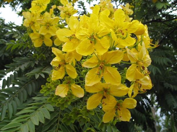 """Cassia trees usually begin blooming in July and continue through the summer months. (Courtesy of Ottillia """"Toots"""" Bier)"""