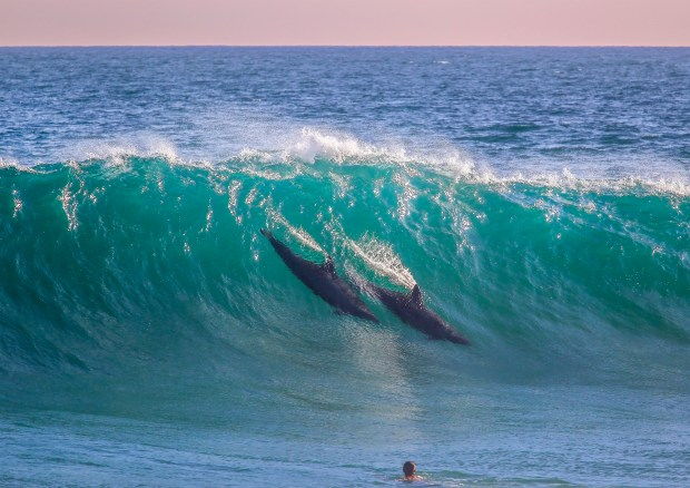The best surfers in the water? These dolphins put on a show at the Wedge on Tuesday, a moment captured by surf photographer Michael Latham. More at MichaelLathamImages.com