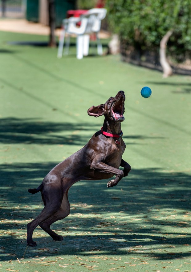 Stella, a Pointer, jumps up to catch a ball thrown by Jeanette Trotman of Laguna Hills at A Place for Paws dog park on Ridge Route in Laguna Woods Thursday morning, August, 17, 2017. The Laguna Woods City Council unanimously voted to temporarily reopen e after its closure on Sunday, Aug. 13, The park will be open for at least 60 days while officials look for alternative locations and partnerships. (Photo by Mark Rightmire, Orange County Register/SCNG)