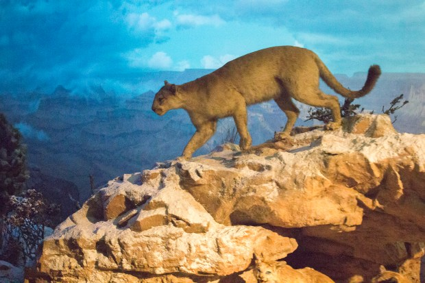 A mountain lion stands on a rock outcropping as seen by passengers aboard the Disneyland Railroad as they pass through the Grand Canyon Diorama. The 306-foot-long diorama opened in 1958 and was painted by noted scenic artist Delmer Yoakum. At the time it was described as the longest diorama in the world. The mountain lion is a mannequin. (File photo by Mark Eades, Orange County Register/SCNG)