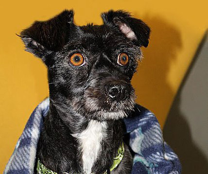 Brioche is a 5-year-old miniature schnauzer-terrier mix available from Ken-Mar Rescue. She's spayed and weighs 21 pounds. She gets along with kids, other dogs and visitors. She's a great walker on leash. For adoption info, contact the rescue at info@kenmarrescue.org or go online to KenMarRescue.org