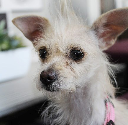 Maui is a 10-month-old Yorkshire terrier mix who's a tiny 6 pounds. She's spayed and house-trained and gets along with kids, other dogs and strangers who visit. She's available from Ken-Mar Rescue. info@kenmarrescue.org or KenMarRescue.org.
