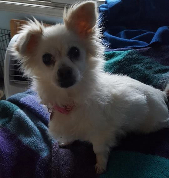 Misty is about 8. She's a Pomeranian mix who's loving, house-trained, playful and well-rounded. This sweetheart also loves to play with toys. She's spayed, microchipped and up-to-date on vaccinations. Contact K9 Spirit Organization at 949-394-0590 or go to k9spirit.org for more information about adopting her.