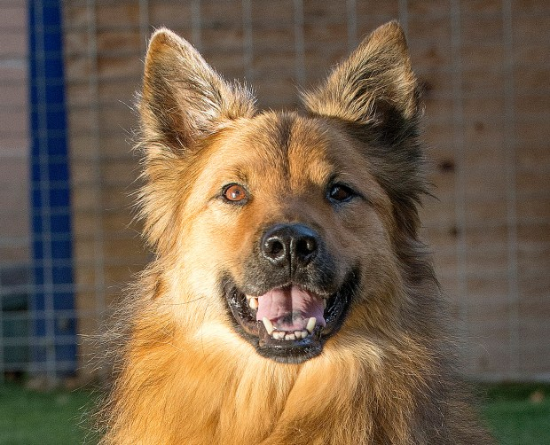 Napolean is a neutered, 7-year-old shepherd mix who's super friendly. He's smart and needs an experienced dog owner. Contact Shamrock Rescue Foundation at 714-270-4187 or shamrockrf@gmail.com to meet him.