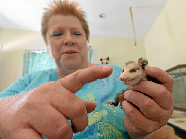 Janet Chaney, of San Bernardino, has been rescuing possums for years, she currently has 55, mostly babies, in cages at her residence. Once they are older she releases them. (File photo by Will Lester/Inland Valley Daily Bulletin-SCNG)