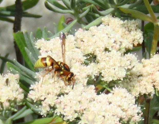 A potter wasp, which targets caterpillars as prey, gets nectar from Santa Cruz Island buckwheat (Erigonium arborescens) in Linda Richards' garden in Redlands. (Photo courtesy of Linda Richards)
