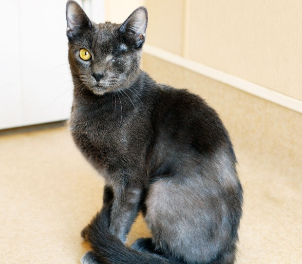 Meet Wink, a female gray Domestic Shorthair who survived a serious eye injury and now, after medical treatment and rehab, is ready for adoption into a loving home, with one eye. She loves to run around, play with toys and bask in the sun, her handlers say, and she loves the attention she gets. She would do best as the only cat in the home, the shelter says. Visiit her at the San Clemente/Dana Point Animal Shelter. 221 Avenida Fabricante, San Clemente, or call 949-492-1617. (Courtesy of animal shelter)