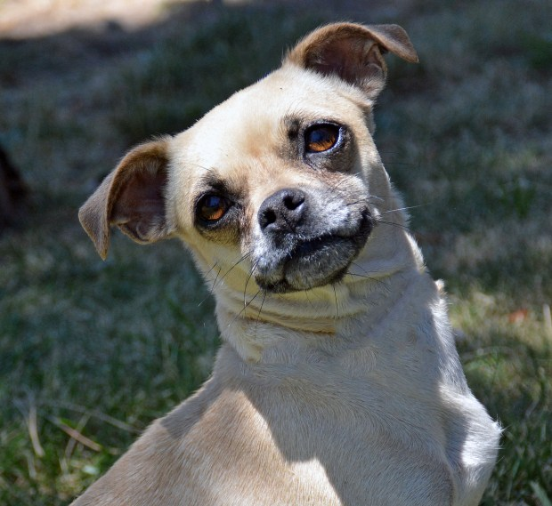 Peggy – part pug, part Chihuahua – is up for adoption near