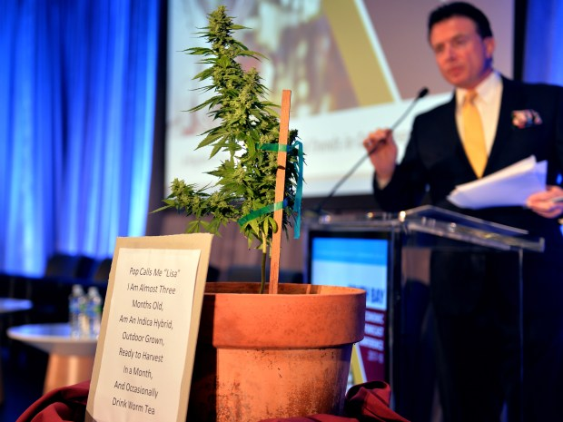 A mature marijuana plant sits at the podium during the South Bay's third annual Economic Forecast conference at Cal State Dominguez Hills on Thursday morning. Topics focused on the rapidly changing employment trends and the way the South Bay is primed to take advantage of them. Carson October 5, 2017. Photo by Brittany Murray, Daily Breeze/SCNG
