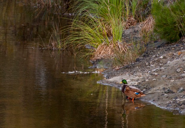 Ducks stand at the shore of the Aliso Creek estuary in Laguna Beach on Thursday, October 12, 2017. (Photo by Paul Rodriguez, Orange County Register/SCNG)