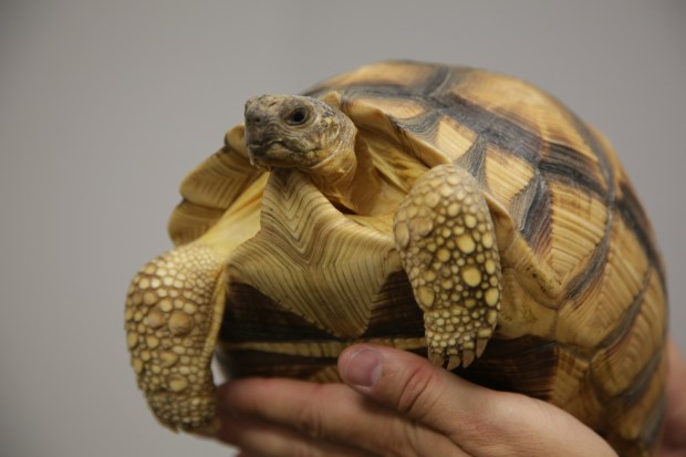 The U.S. Fish and Wildlife Service provided details about criminal cases filed against 16 defendants as a result of ÒOperation Jungle Book. Friday the service showed off a number of animals seized including Ploughshare turtle. Chuck Bennett/Daily Breeze/SCNG