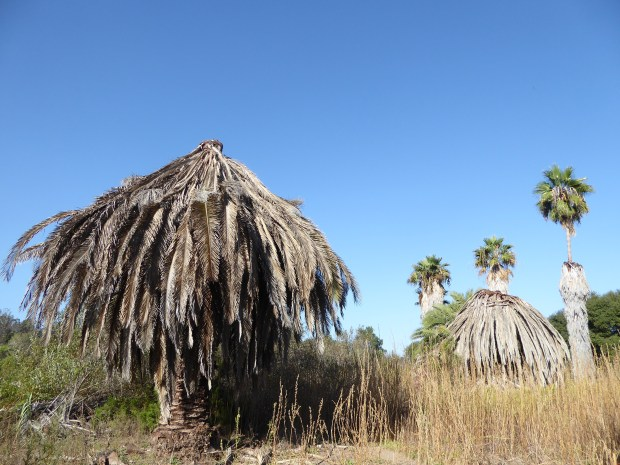 These two Canary Island palm trees were killed by South American palm weevils in the Bonita area of San Diego County. (Courtesy of Center for Invasive Species Research, UCR)