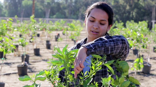 UC Riverside entomologist Diane Soto, who works with Matt Daugherty, surveys plants for invasive insects. (Courtesy Photo)