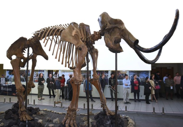 A skeleton of an extinct giant wooly mammoth is now on display at the Cal State Fullerton Student Union. John Gregg of Gregg Family Foundation donated the fossil to CSUF during a ceremony on Wednesday, November 29,(Photo by Bill Alkofer, Orange County Register/SCNG)