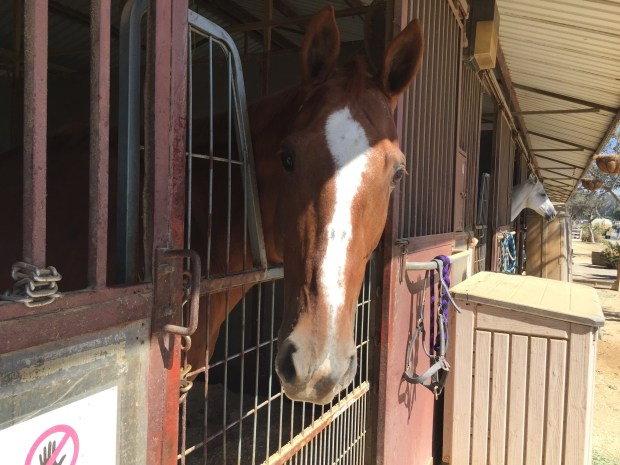 This horse was evacuated to the OC Fairgrounds during the Canyon Fire 2. (Photo courtesy of In Defense of Animals)