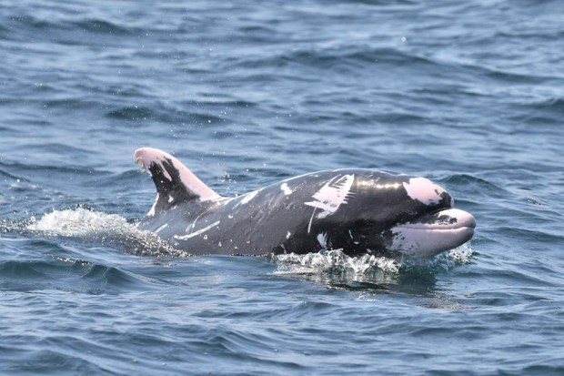 Patches is a unique dolphin with rare markings spotted off the Orange County Coast. (Photo courtesy of Ryan Lawler, Newport Coastal Adventure)