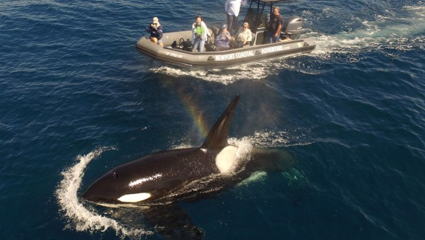 Orcas showed up in Newport Beach Oct. 6, 2017, a rare sighting of two pods not seen in the area often. One pod, the CA216, hasnÕt been seen off OC since 2013. (Photo: Mark Girardeau/Newport Coastal Adventure)