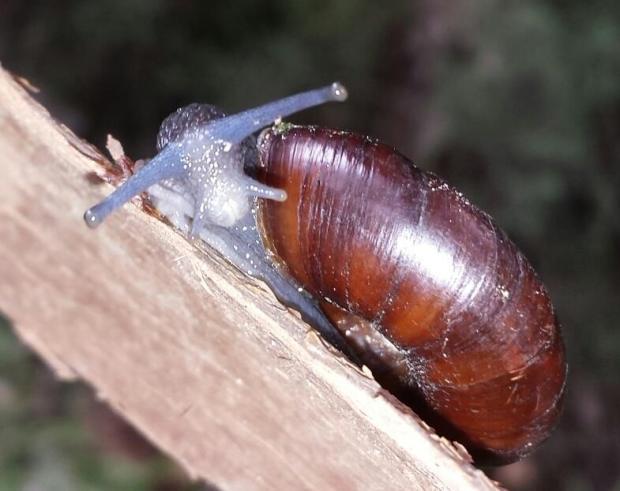 San Gabriel Chestnut snail. (Courtesy photo by Cedric Lee)